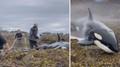 Kosatka se zasekla na útesu. Dobrovolníci ji udrželi naživu než přišel příliv