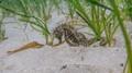 Vzácný objev! Na britském pobřeží byl nalezen mořský koník s dlouhým nosem