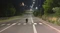 Ulicemi slovenského města se procházel medvěd - 1