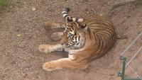 Tygřice ve výběhu
