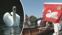 Londýn má Královského kroužkovače. Sčítá labutě na Temži