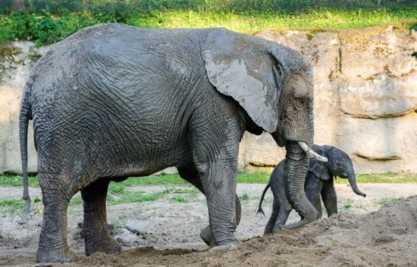 Slůně africké v Zoo Zlín